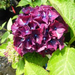 Hydrangea macrophylla Red Beauty Blue